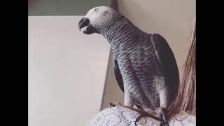 Попугай Аркадий. Братан.