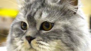 Котята шотландской вислоухой из питомника  de Nicole  1