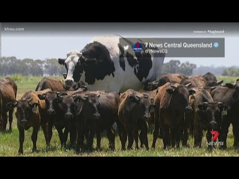 Totally Texas Giant Australian Cow Goes Viral Youtube