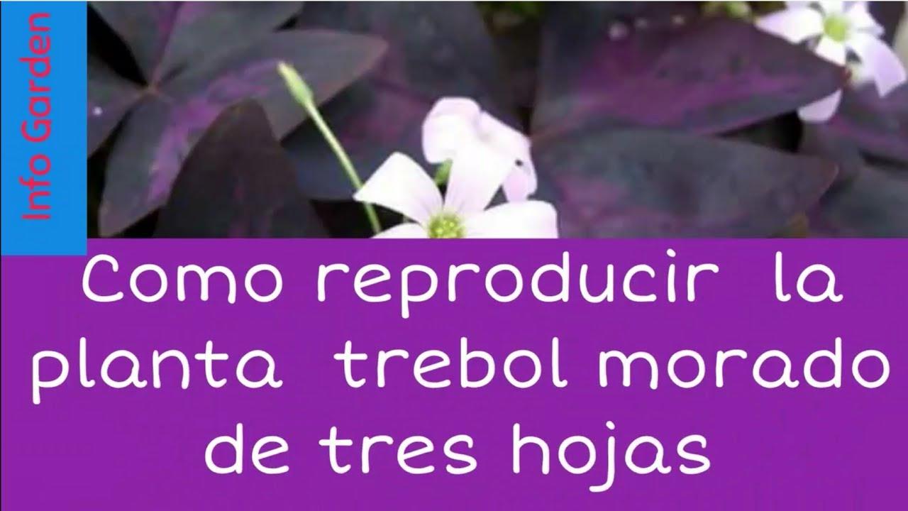 Como Cuidar Y Reproducir La Planta Trebol Morado De Tres Hojas