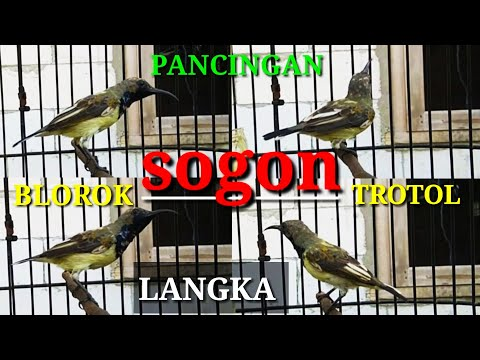 Download Burung Sogon Sriganti Trotol Ngeriwik Isian Mp3 5 8 Mb Kicau Siburung Com