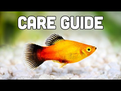 Platy Fish Care Guide (aka My Favorite Livebearer For Beginners)