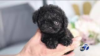 Bay Area families buy puppies online, find out it's a scam
