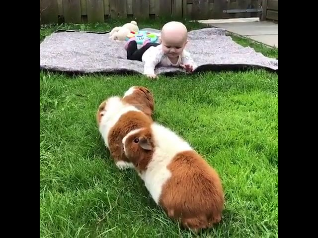 Guinea Pigs play with baby – 987907