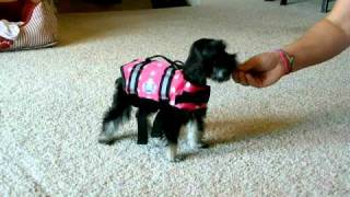 Maggie - Miniature Schnauzer In Life Jacket