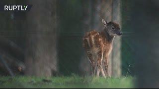 Детёныша вымирающего вида оленей показали в зоопарке Великобритании
