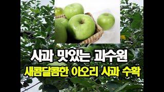 사과 맛있는 과수원 새콤달콤한 아오리 사과 수확 소백산…