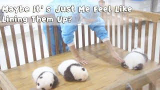 Don't We All Feel Compulsive To Line Up These Cute Fluffy Baby Pandas! | iPanda