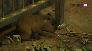 В зоопарке Калининграда родились два детёныша капибары