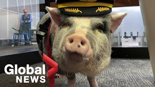 Airport therapy animals helping to reduce travel stress