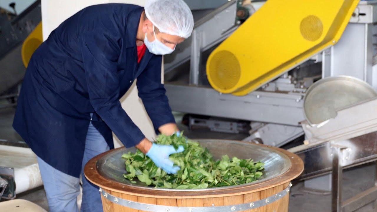 Çay Fabrikası Çay Üretimi (28.07.2016)