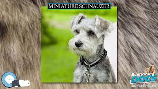 Miniature Schnauzer  Everything Dog Breeds