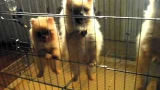 Pomeranian Puppies Rosadelrio Kennel