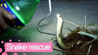 Man Rescues Thirsty King Cobra Trapped in Fishnet