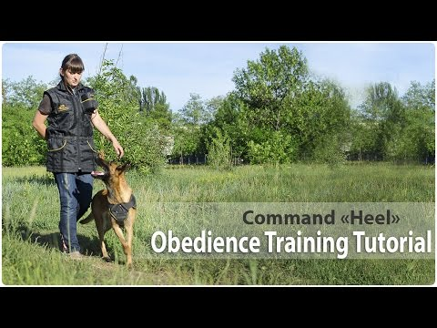 Obedience Training. Command 'Heel'.