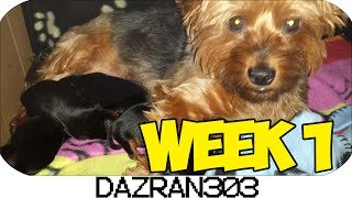 Newborn Yorkshire Terrier Puppies | Week 1 [hd]