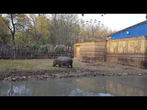 A male of Hippopotamus and his enclosure