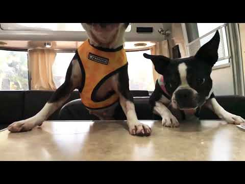Two puppies race towards the treats #bostonterrier #funnypuppy