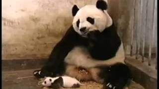 ПАНДА и малыш!!! Смешное видео