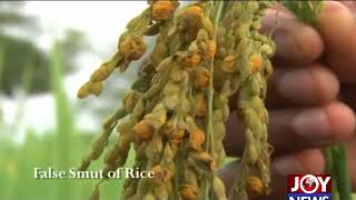 KNUST Scientists use extracts from Rice false Smut disease to fight infection. (2-08-18)