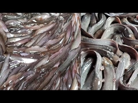 Amazing Big CatFish Market In The Asia | Whole Sell Price Of Catla, Carp and Others Fish