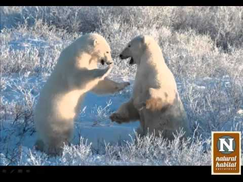 WEBINAR | Polar Bears: The Arctic's Most Iconic Creature