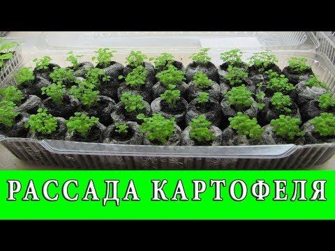 Выращивание Рассады Раннего Картофеля