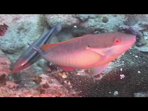 Caribbean Fish : Redband Parrotfish Identification