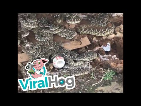 Snake Den Surprise || ViralHog
