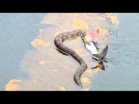 Water Snake Eating Fish Youtube