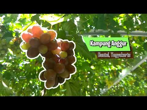 kampung-anggur-bantul,-jogjakarta