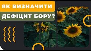 Бор - прояви дефіциту на соняшнику