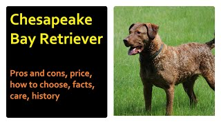 Chesapeake Bay Retriever.  Pros and cons, price, how to choose, facts, care, history