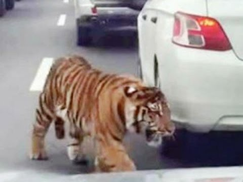 Shows Tiger Falling From Truck, Running On Busy Highway Qatar,Doha