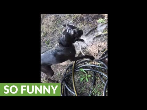 Fun-loving dog absolutely loves to attack shooting water