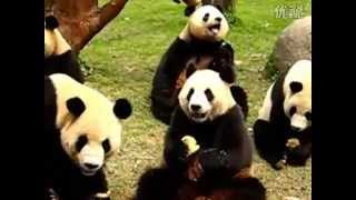 Super Cute Giant Panda Bears Eating