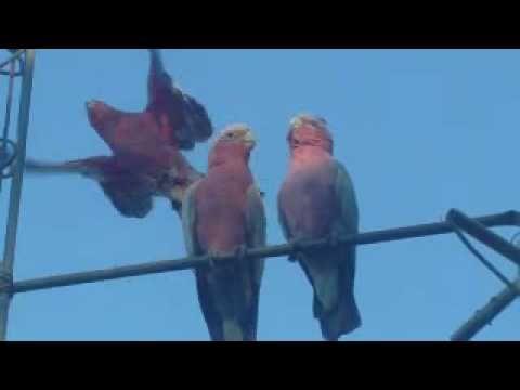 Galah cockatoos, central Australia