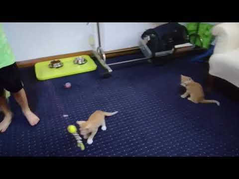 20: New Burmese Kittens
