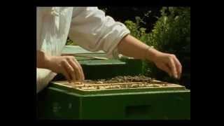 Вывод маток и производство в пчеловодстве - Германия (ЧАСТЬ 3)(Видео материалы и другая информация по пчеловодству http://www.pchelu.com.ua/, 2013-07-23T21:32:18.000Z)