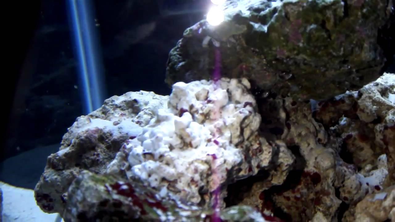 Tube Worm on live Rock - YouTube
