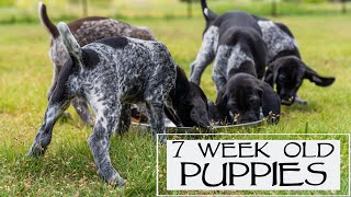 7 Week Old GSP Puppies  Crate Training and Food Change