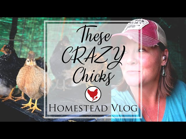 THESE CRAZY CHICKS! | Homestead Vlog