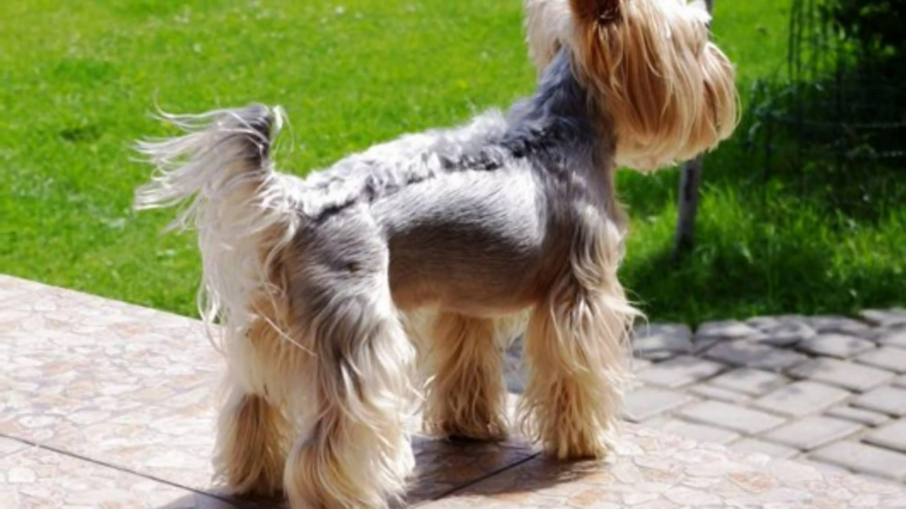 different yorkie haircuts - lots of yorkshire terrier hair styles