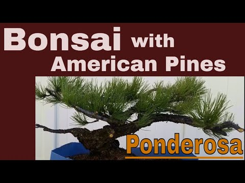 How  to make   Bonsai  with  an American Pine ( Ponderosa)