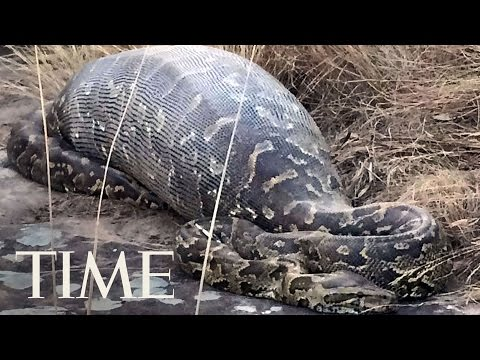 Missing Indonesian Man Found Dead Inside A 23-Ft. Python | TIME