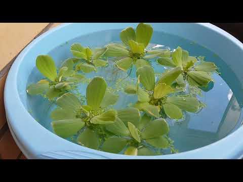Пистия, надводное аквариумное растение