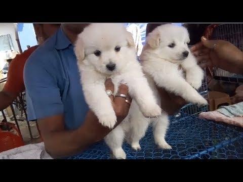 Super Cute German Spitz Puppy at Galiff Street Kolkata l Puppy Sale at Galiff Street Pet Market