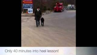 Standard Poodle At End Of Heel Lesson! Dog Training Dc, Maryland