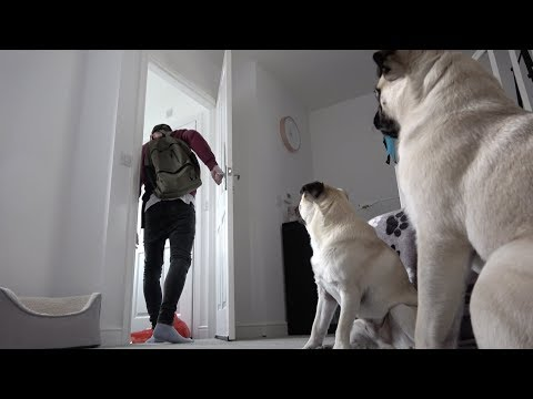 Heather Burnside - Paw Purr Azzi: Watch These Two Pugs Go Nuts When Left Home Alone