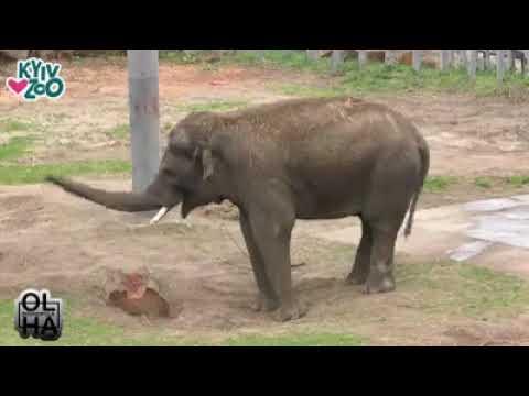 В киевском зоопарке видели, как слон и бегемоты радуются дождю